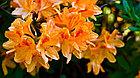 Фотообои Азалия оранжевая, фото 3
