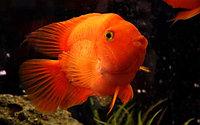 Аквариумная рыбка красный оранжевый попугай