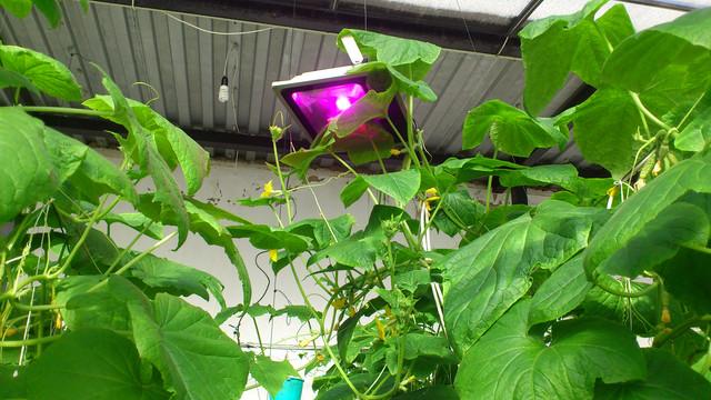 фитопрожекторы в теплице