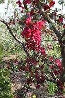 Яблоня декор Крастнолистная