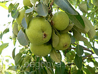 Яблоня Уралочка
