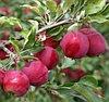 Алтайское румяное яблоня