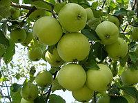 Яблоня Свердловчанин