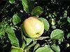 Уральское наливное яблоня