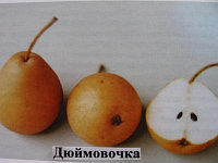 Груша Дюймовочка