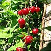 Саженцы вишни Максимовская