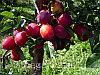 Сливово-вишневый гибрид 11-19-пирамидальная