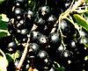 Смородина черная Сибилла