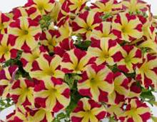 Amore Queen of Hearts №511 / цветущее растение