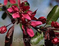 Яблоня краснолистная
