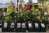 Саженцы роз в горшках