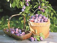 Сливы и сливово-вишневые гибри...