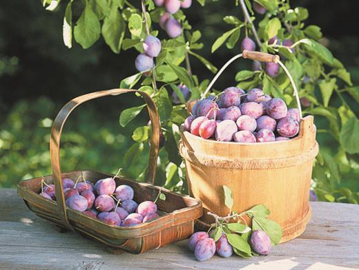Сливы и сливово-вишневые гибриды