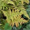 Лесной папоротник Dryopteris eryth Brilliance