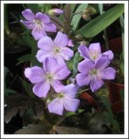 Герань Geranium ciner Lizabeth нет в наличии