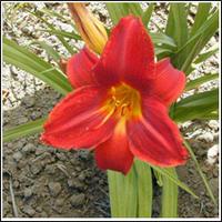Лилейник Hemerocallis Anzac