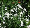 Тысячелистник Жемчужница Achillea ptarmica