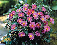 Анемона войлочная   - ВЕТРЕНИЦА (Осенние Анемоны) Anemone tomentoza Robustissima