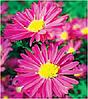 Астра многолетняя Aster nov-bel Crimson Brocade