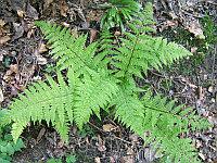 Папоротник  лесной (Кочедыжник городчато-пильчатый) Athyrium nipon var.pictum