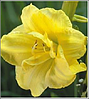 ЛИЛЕЙНИК Hemerocallis Double Cutie