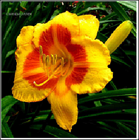 ЛИЛЕЙНИК Hemerocallis Fooled Me