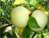 Уральский сувенир яблоня