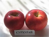 Яблоня Сурухай