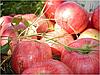 Яблоня Алтынай