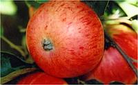 Яблоня Грушовка московсская
