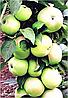 Яблоня Сладкий Викич