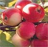 Яблоня Дачное