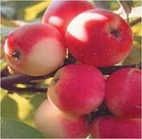 Яблоня Дачное, фото 1