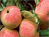 Яблоня Павлуша