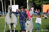 Карета Лошадь Пони Верблюд Лама Сани Фаэтон в Алматы, фото 7