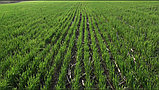 Сеялка прямого посева Берегиня АП-332, фото 4