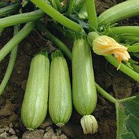 Семена кабачка Вележ