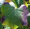 Анализ листьев и плодов