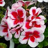 Americana White Splash / подрощенное растение, фото 2