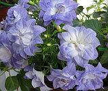 Isofila Dublin Bicolor/ подрощенное растение, фото 2
