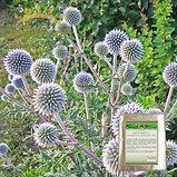 Мордовник семена 50гр, фото 2