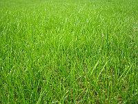 Cемена газонных трав
