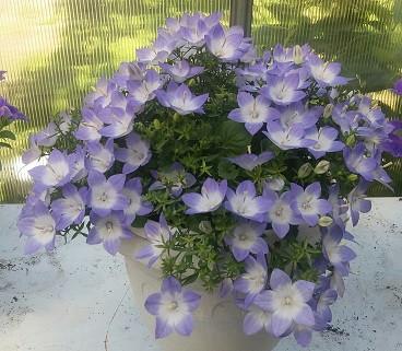 Isofila Berlin Bicolor/ взрослое растение