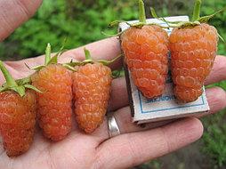 "Саженцы малины ""Оранжевое чудо"""