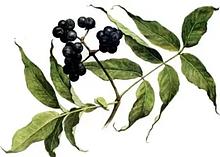 Бархат амурский, плоды, 100 г