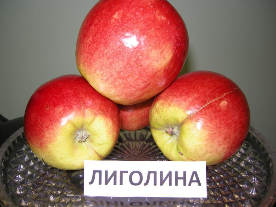 """Яблоня """"Лиголина"""""""