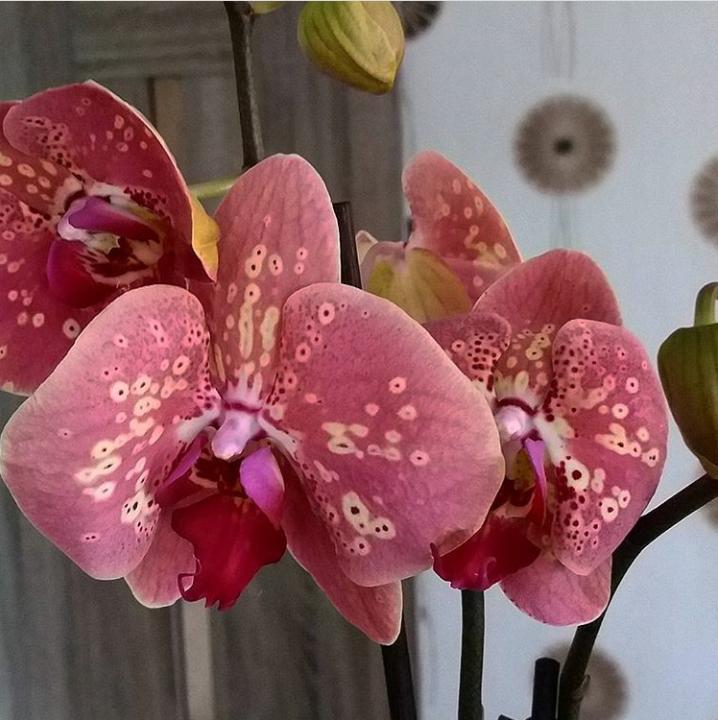 Орхидея Wild Peach