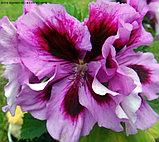 Arche Pope / взрослое растение, фото 2