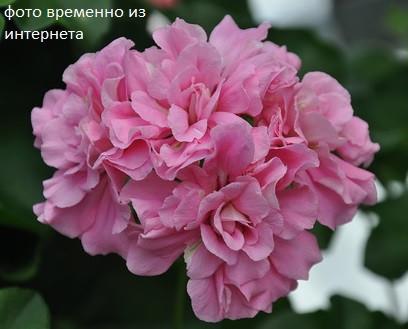 Pink Rosebud / укор.черенок