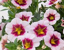 Mini Famous Uno Pink Purple Splash  №421/ подрощенное растение